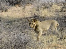 Male lion in the savannah Royalty Free Stock Image
