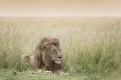 Male lion on savannah Royalty Free Stock Image