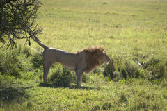 Male Lion scent marking Stock Photos