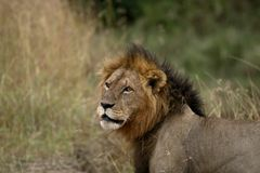 Male Lion searching Royalty Free Stock Images