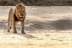 Beautiful male lion in Zambia. Male lion during safari in Southern Luangwa in Zambia stock photography