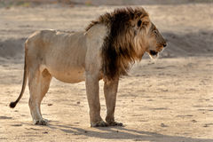 Yellow car. Male lion seen during a safari in the Southern Luangwa National park in Zambia Stock Photo