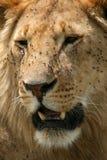 Male Lion - Serengeti Safari, Tanzania, Africa Stock Photography