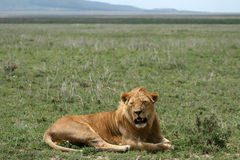 Male Lion - Serengeti Safari, Tanzania, Africa Royalty Free Stock Image