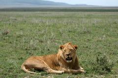 Male Lion - Serengeti Safari, Tanzania, Africa royalty free stock image