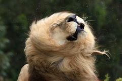 Male Lion Shaking Fur Stock Image