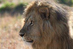 Male Lion side view. Male lion watching intently royalty free stock photos