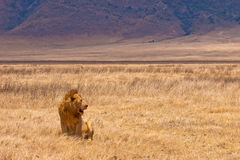 Male lion sitting in the dry yellow grass Stock Image
