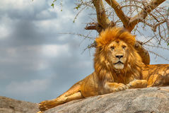 Male lion sitting on a rock facing straight Stock Photo
