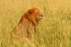 Male Lion Sitting in the Savannah. A male lion sits in the savannah surveying his surroundings Royalty Free Stock Photography
