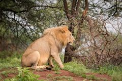Male lion sitting in woods in profile Stock Photos