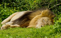 Male Lion Sleeping Stock Photography