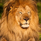 Male Lion Sleeping. Male lion with eyes closed in the San Francisco Zoo Royalty Free Stock Photo