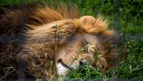 Male lion sleeping in the grass. Male lion on his side sleeping in the long grass and sun Stock Photo