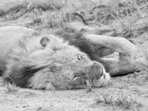 Male Lion Sleeping. A male Lion having a snooze in Southern African savanna royalty free stock images