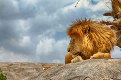 Male lion sleeping on a rock facing sideways Royalty Free Stock Image