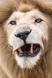 Male Lion Snarl Stock Images