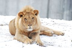 Male lion in the snow. A young male lion lies in the snow Royalty Free Stock Photo