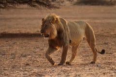 Male lion som går 2 Fotografering för Bildbyråer
