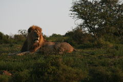 Male Lion in South Africa Stock Photography