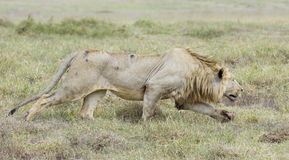Male Lion stalking, (Panthera leo) Tanzania Royalty Free Stock Images