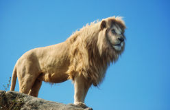 Male Lion Standing Stock Photos