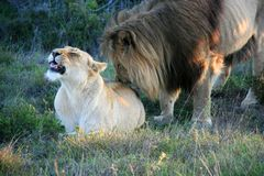Male lion standing behind and licking female lying on grass in South Africa royalty free stock photo