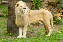Male lion. Standing, captive animal Royalty Free Stock Images