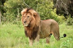 Male lion standing in the grass. Full body of male lion standing in the grass Stock Images