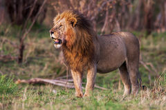 Male lion standing in the grass at sunset, Kenya. Royalty Free Stock Photography