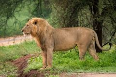 Male lion standing beside road in profile Royalty Free Stock Images