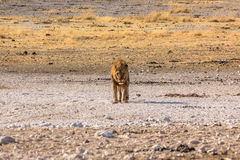 Male lion standing Stock Images