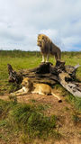 Male lion standing on tree stump with lioness lying on grass Stock Images