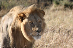 Male Lion Stare. Lion staring at another male lion nearby stock photo