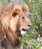 Male lion staring into bushes royalty free stock images