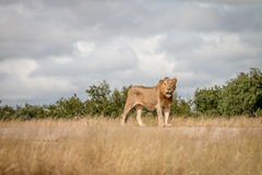 A male Lion staring at the camera. Royalty Free Stock Photography