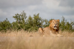 A male Lion staring at the camera. Stock Photos