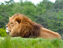 Male Lion. Staring into the distance Royalty Free Stock Photo