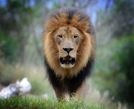 Male Lion, Straight Close-Up. A male Lion with a bushy mane walks towards us, probably hungry Stock Photo