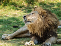 Male lion stretching Stock Images