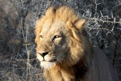 Male lion with sun in eyes. Male lion, light mane, looks into rising sun yellow eyes in Kruger National Park in South Africa  lions are part of the Big 5, the Stock Photo