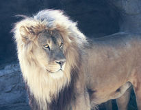 A Male Lion with a Sunlit Mane. Peers Watchfully Royalty Free Stock Photography