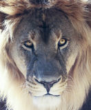 A Male Lion with a Sunlit Mane Royalty Free Stock Photography