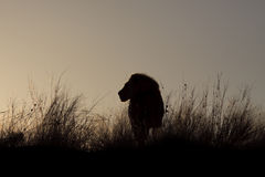 Male Lion at Sunrise. Rim light outlining a male lion, at sunrise Stock Photos