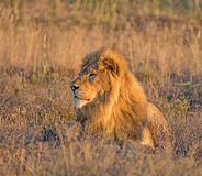 Male Lion At Sunrise Stock Photos