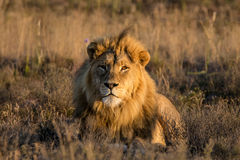 Male Lion At Sunrise Stock Image