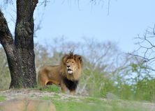 Male Lion surveying from a hill Royalty Free Stock Images