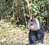 The lion tailed macaque Stock Photos