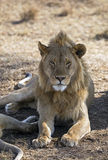 African majestic lion. Male lion taken in Serengeti national reserve, Tanzania Stock Photography