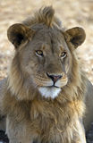 African majestic lion. Male lion taken in Serengeti national reserve, Tanzania Royalty Free Stock Photos